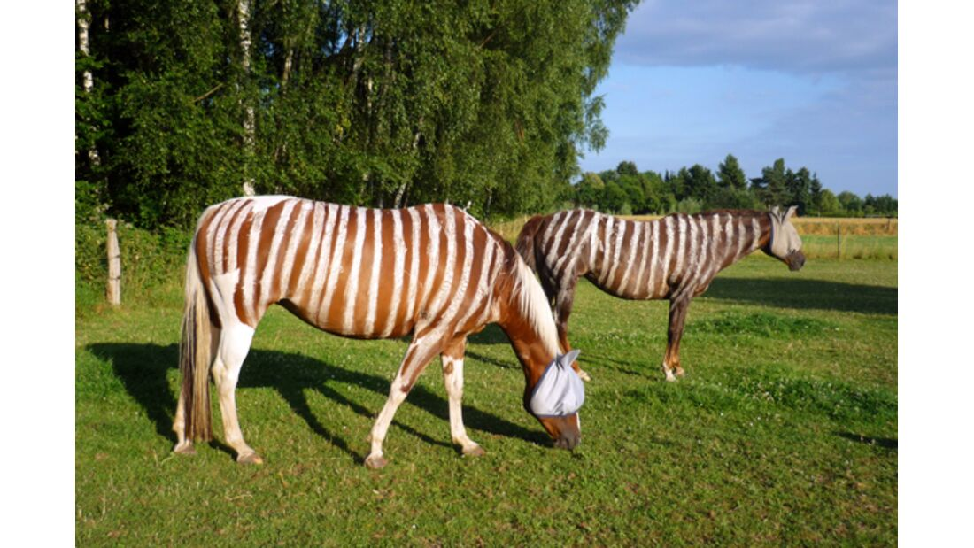 CAV Zebra Leserfotos 13