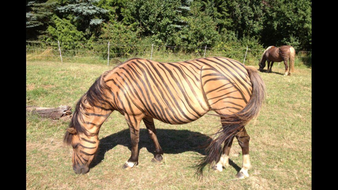 CAV Zebra Leserfotos 2
