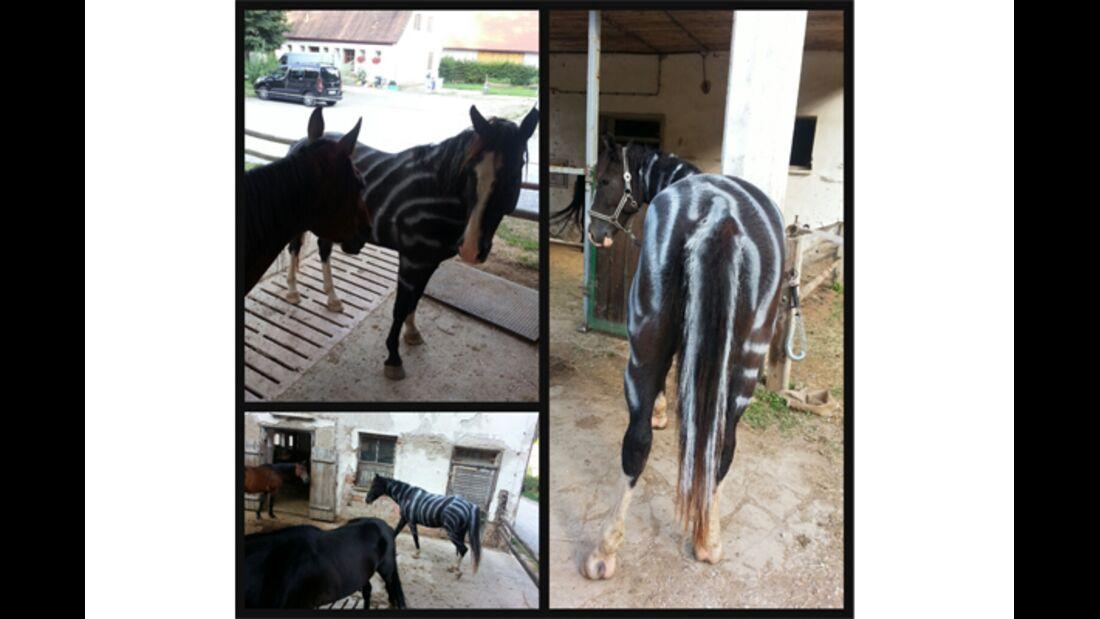 CAV Zebra Leserfotos 8