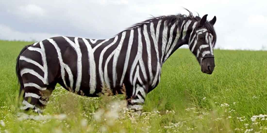 CAV Zebra Leserfotos Bremsen 29