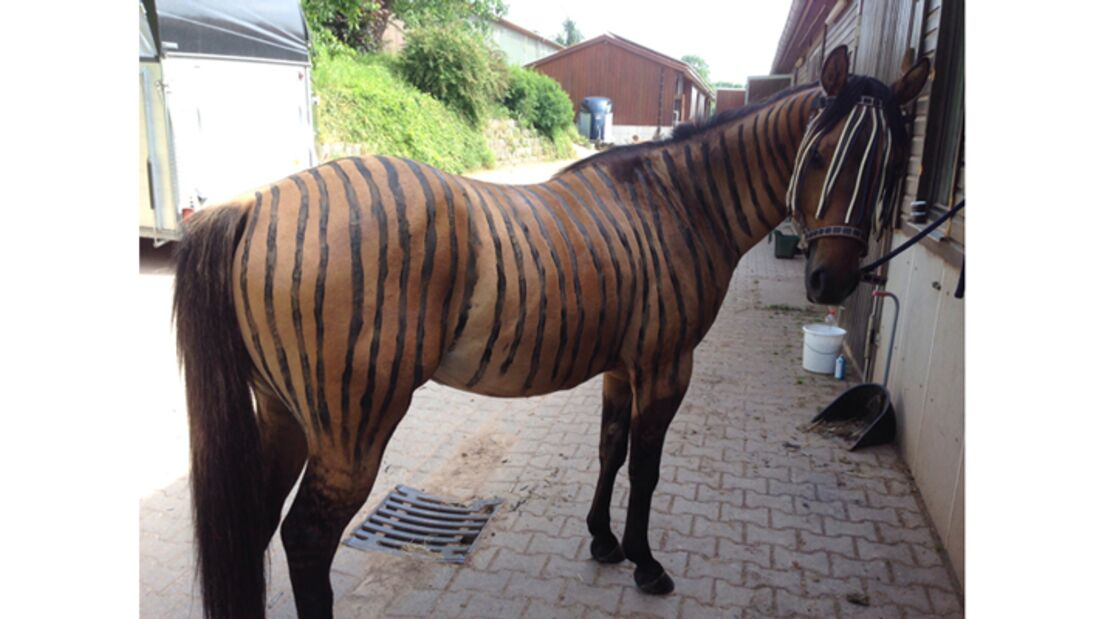 CAV Zebra Leserfotos Bremsen 30