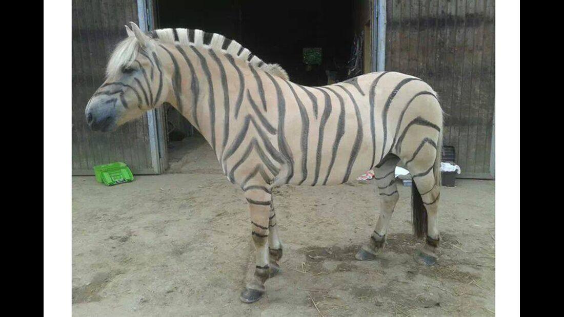 CAV Zebra Leserfotos Bremsen 33