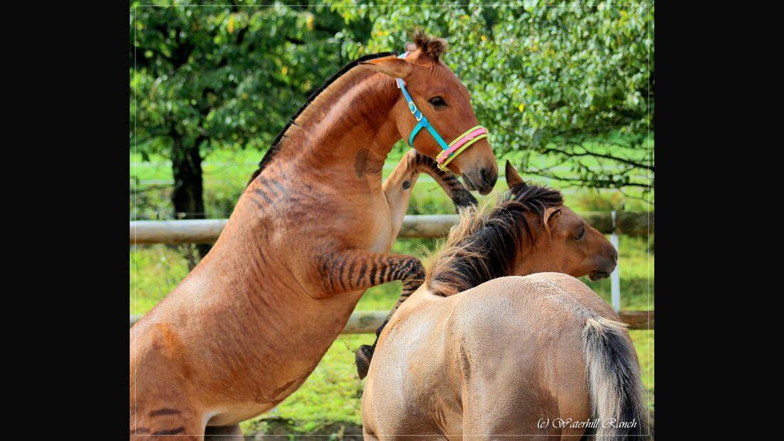 Halb Zebra Halb Pferd