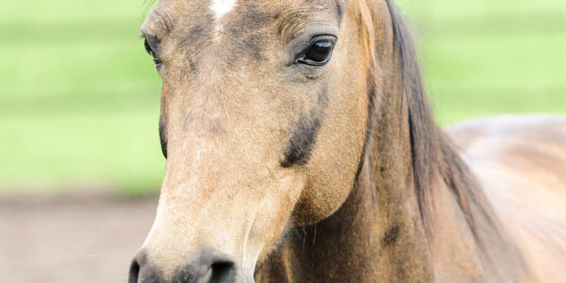 CAV alte Pferde Pandora jung