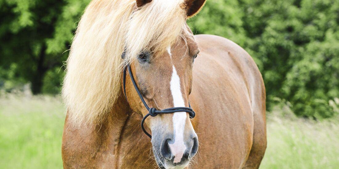 CAV alte Pferde Roman alt