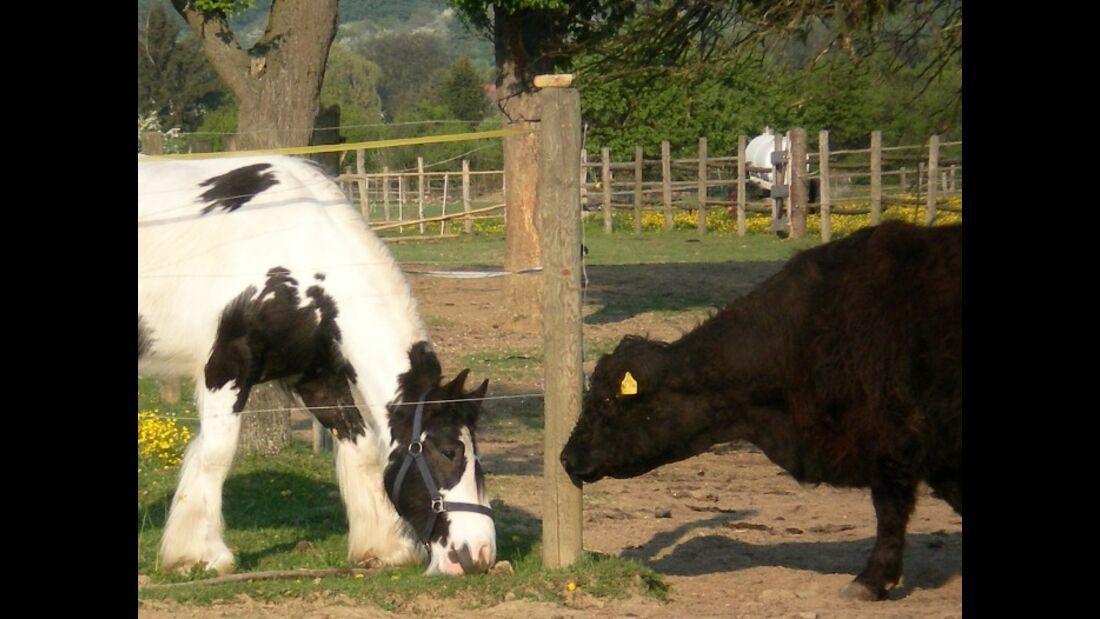 CAV schräg witzig Kuh und Tinker MS