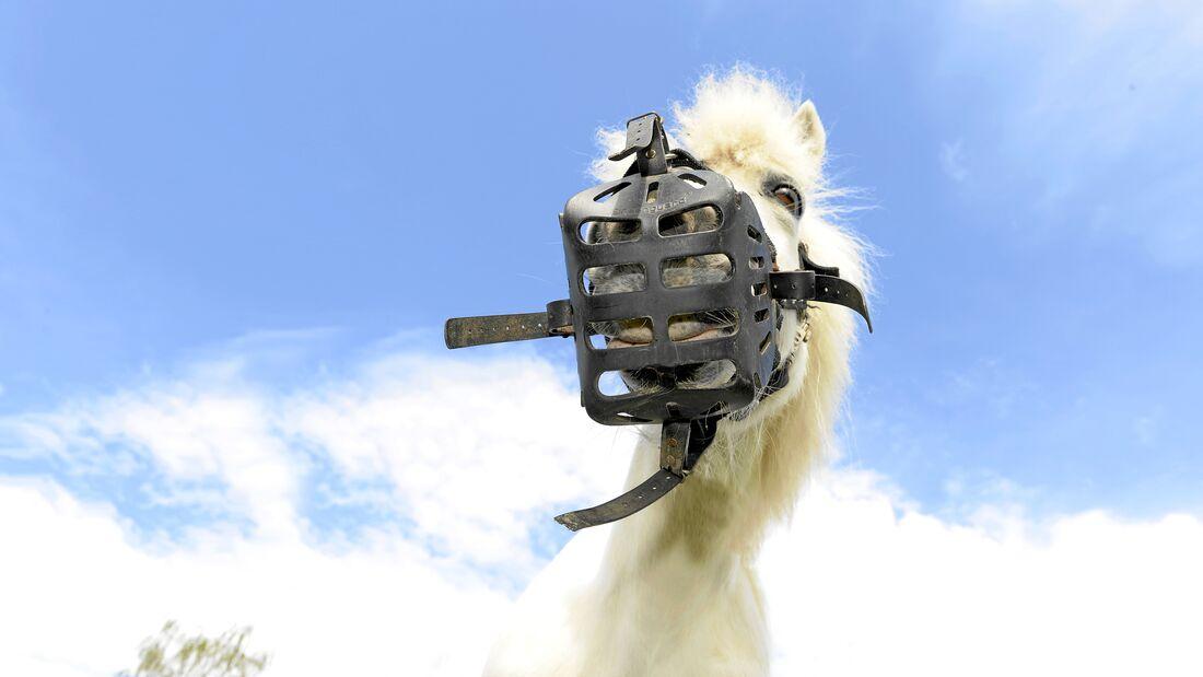 Ein Maulkorb bremst hungrige Pferde auf der Weide aus.