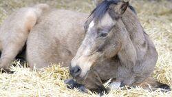 Ein Pferd ruht sich im Stroh aus.