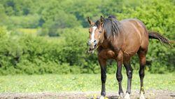 Ein gähnendes Pferd.