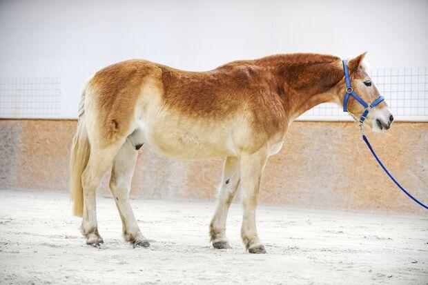 Haflinger Pferd in Reithalle