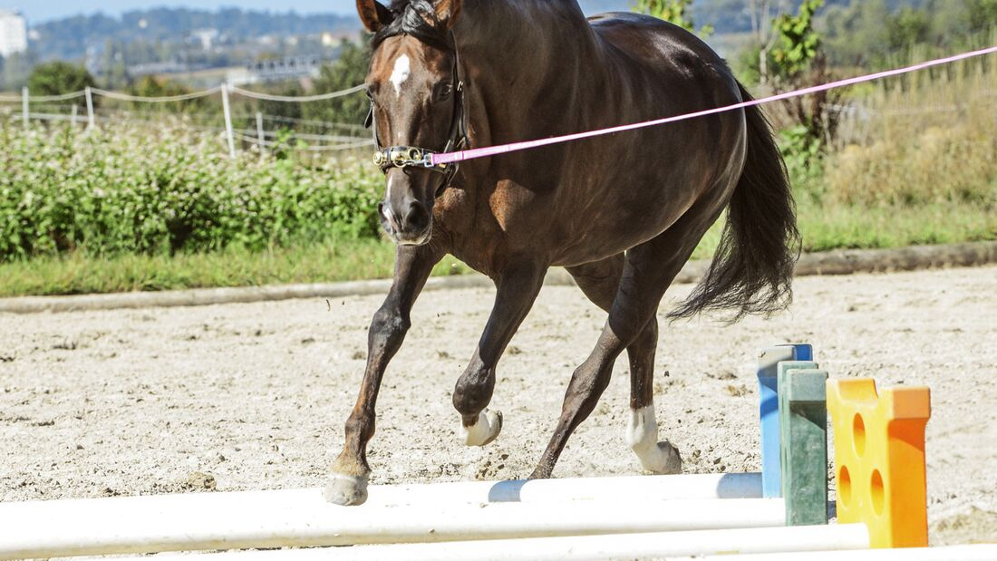 Pferd beim Longieren über Stangen