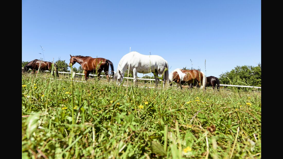 Pferde grasen auf Weide