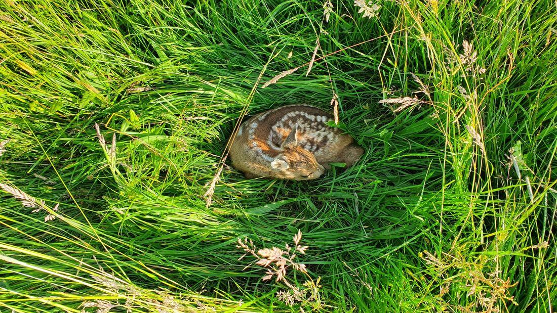 Rehkitzen im hohen Gras droht Gefahr durch Erntemaschinen.