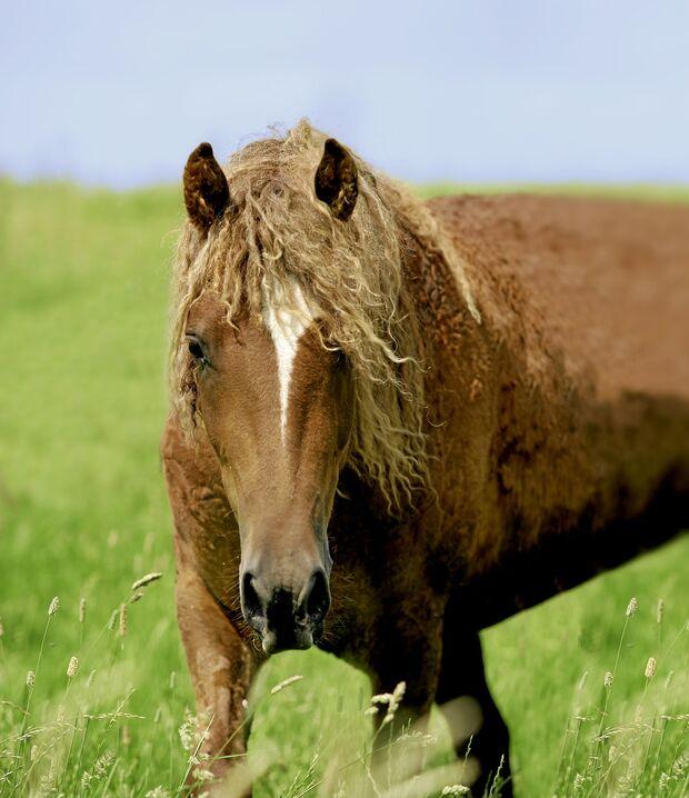 Sind Curly Horses geeignet für Allergiker?
