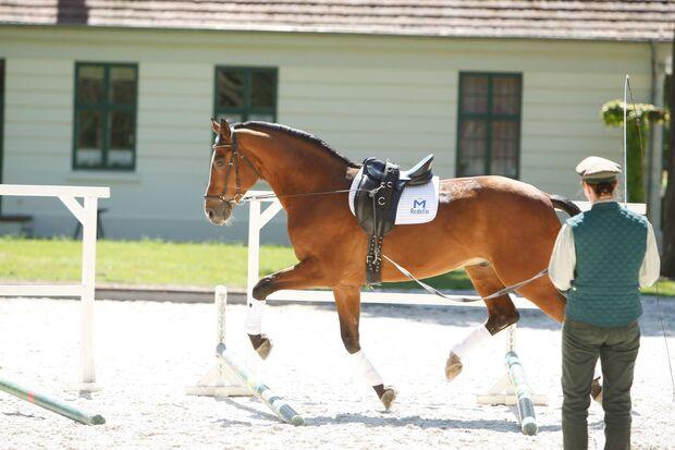 Stangenarbeit an der Doppellonge gehören zum täglichen Training der Pferde.
