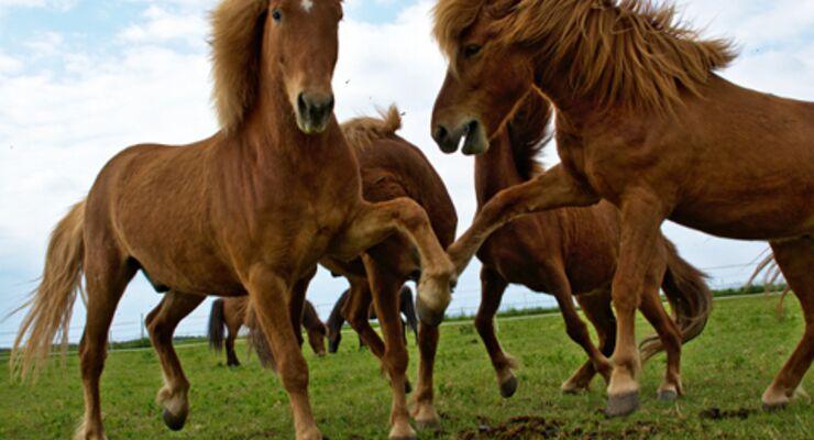 Tölting Horse Isländer Reportage Tölt Video