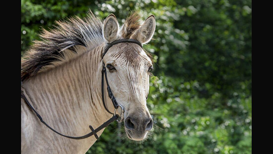 Cavallo anzeigen er sucht sie