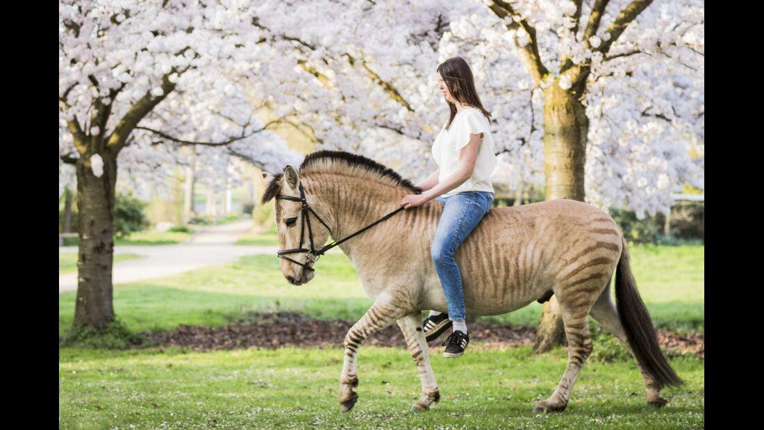 Zorse - Halb Pferd, halb Zebra