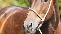 cav-201812-pferderassen-20180912-maremma-pferde-0405-hartig-v-amendo (jpg)