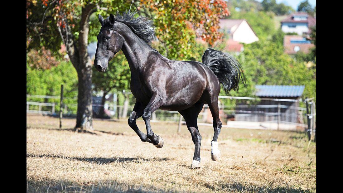 cav-201812-pferderassen-20180912-maremma-pferde-0442-hartig-v-amendo (jpg)