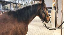 cav-201904-reitschultest-reiterhof-giehl-schulpferd-img3076-v-amendo (jpg)