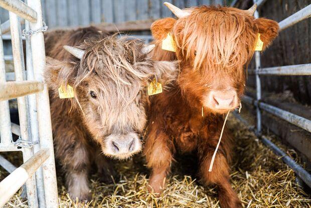 coron ahome office teamkonferenz tiere kühe emma sieglinde